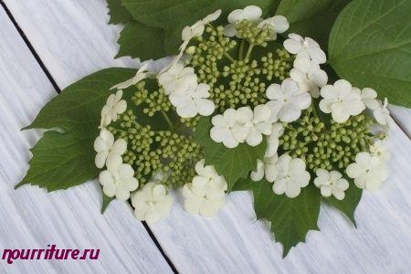 Настой сухих цветков калины для лечения злокачественных опухолей