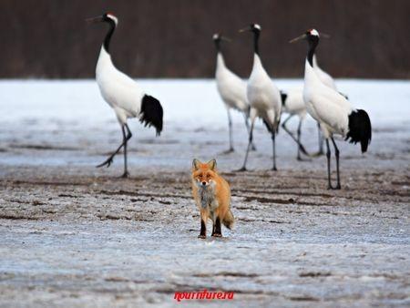 Сказка о том, как лисица журавля угощала