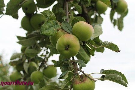Сгущённое молоко с яблоками и листьями берёзы