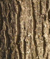 Кора (ветви) грецкого ореха