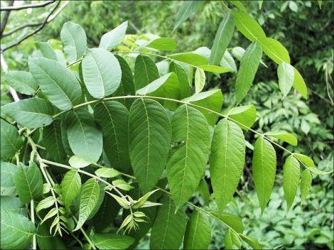 Настой сушёных листьев грецкого ореха при угрях и ранах