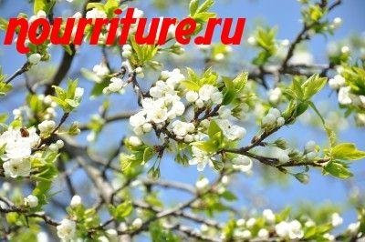 Как приготовить настой из цветков сливы?
