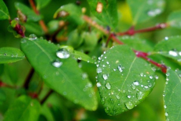 Настой листьев жимолости при гипертонии и атеросклерозе