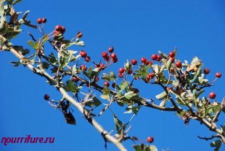 Настой из цветков и плодов боярышника