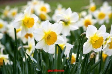 Нарцисс - цветок любви, страсти и здоровья