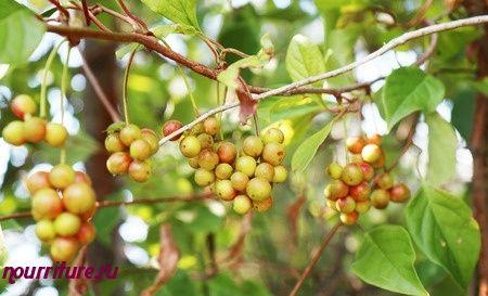 Настой листьев лимонника китайского, крапивы двудомной, корня одуванчика