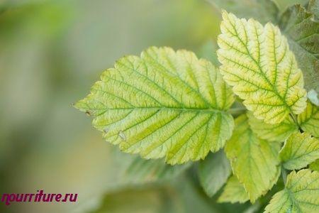 Настой листьев малины при хроническом бронхите