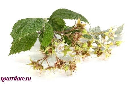Настой из цветков и листьев малины для спринцевания при геморрое и женских половых заболеваниях