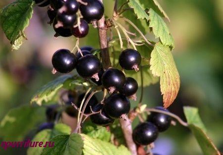 Настой  общеукрепляющий из листьев чёрной смородины, черники и берёзы