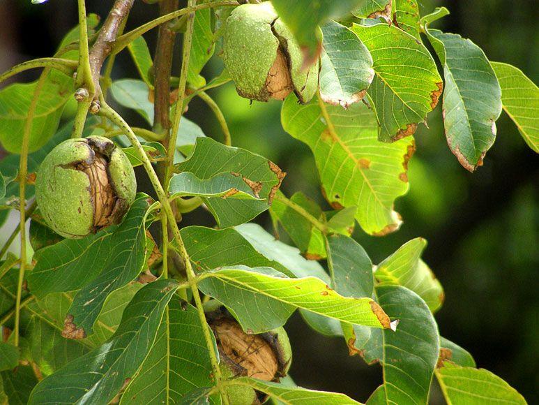 Настой листьев и околоплодников грецкого ореха при анемии