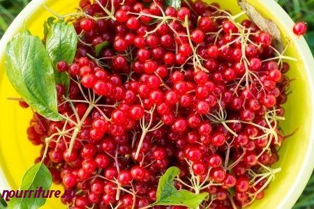 Семена калины при почечнокаменной и желчнокаменной болезни
