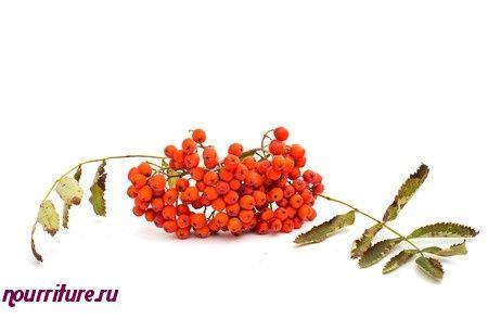 Настой плодов рябины с мёдом при простуде