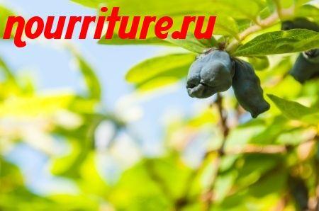 """Жимолость съедобная """"ивушка"""" (дальневосточная селекция)"""
