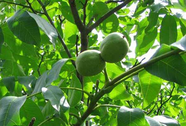 Настойка перегородок грецкого ореха на кагоре (при анемии)