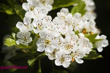 Спиртовая настойка из цветков боярышника