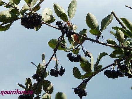 Пюре из ягод черноплодной рябины и чёрной смородины