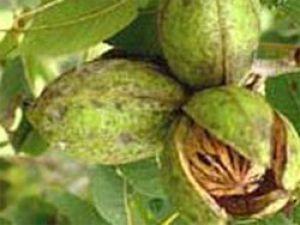 Настой сухих незрелых грецких орехов при узловом зобе