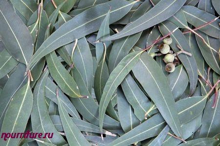 Настой ромашки, календулы и эвкалипта при фолликулярной ангине
