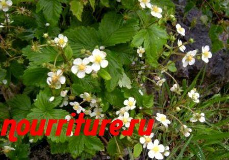 Отвар из растения и цветков земляники