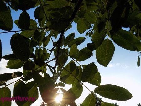 Настой сушёных листьев грецкого ореха при ангине и выпадении волос