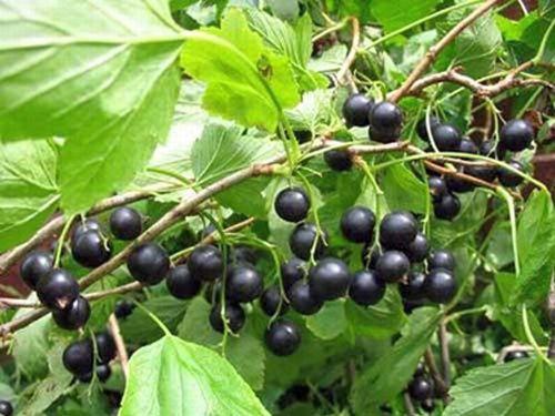 Ветви чёрной смородины: польза веток смородины