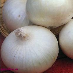 луковица белая фото