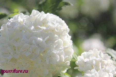 Настой из цветков калины при простуде, ангине и осипшем голосе