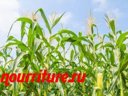 Отвар кукурузных рылец при гепатите в стадии ремиссии
