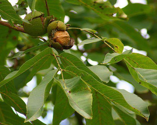Диабетический чай из листьев грецкого ореха