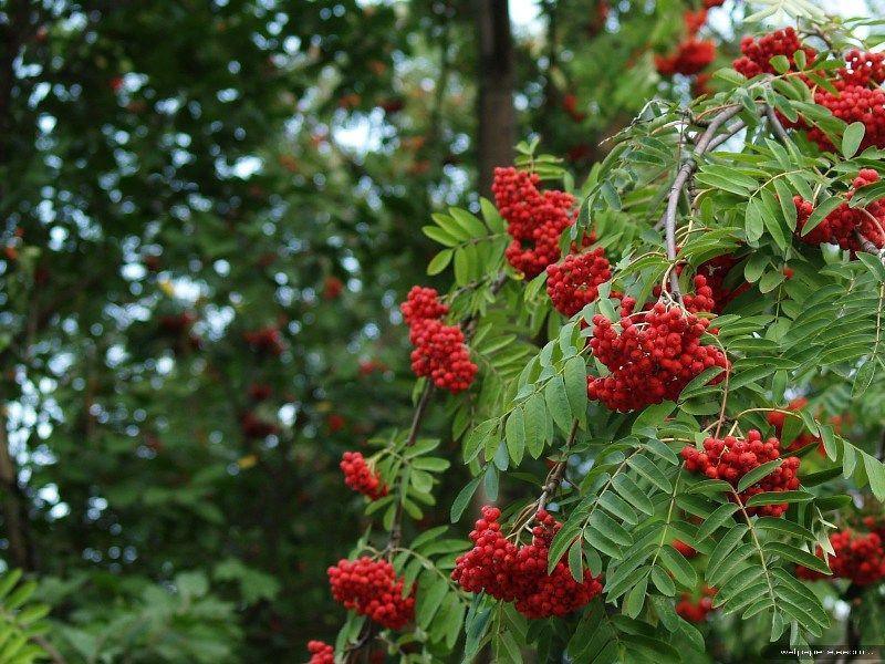 Масло плодов рябины красной