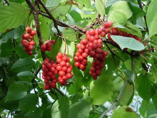 Настой листьев лимонника, крапивы двудомной, заячьей капусты и одуванчика