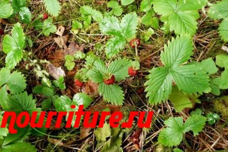 Отвар из листьев земляники при сердечной астме