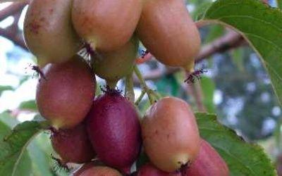 Актинидия пурпурная: польза актинидии
