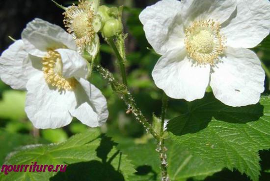 Настой из цветков малины