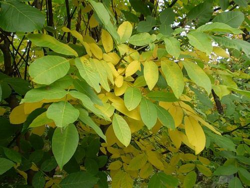 Настой сушёных листьев грецкого ореха при воспалении ротовой полости