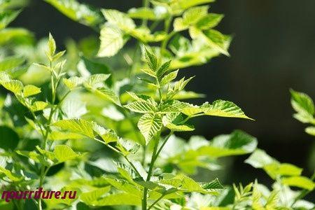 Настой листьев, цветов, веток малины при изжоге и чувстве тяжести в желудке
