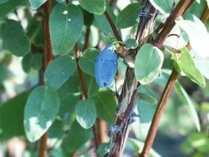 Листья жимолости съедобной