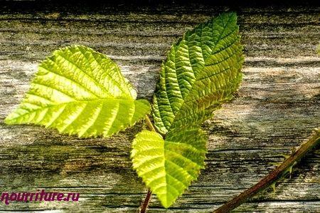 Настой листьев сушеницы, грецкого ореха и ежевики при сахарном диабете