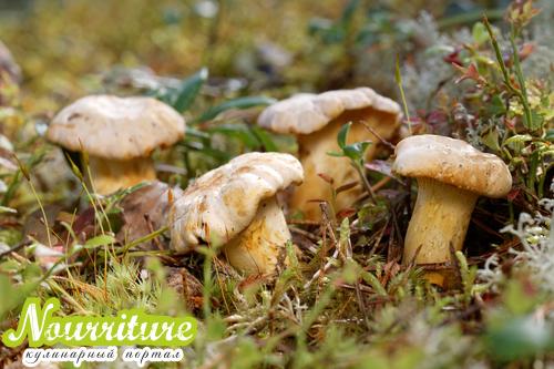 Лечение грибами: полезные свойства лисичек