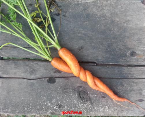"""""""Морковная"""" измена-2 (продолжение истории о моркови и сельдерее)"""