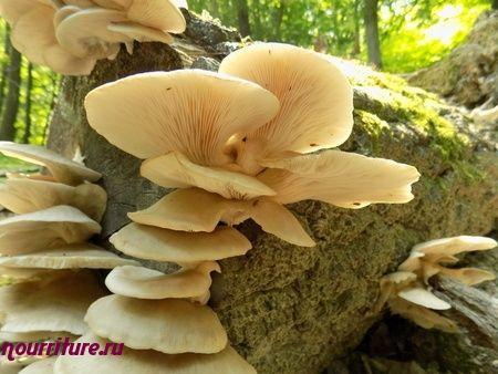 Вешенки (грибы): полезные свойства вешенок