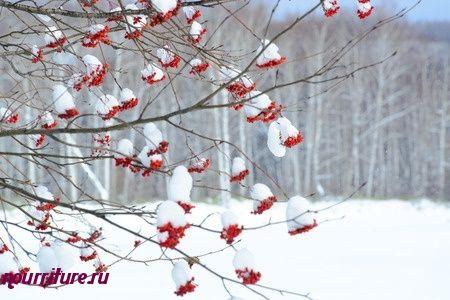 Сладкий настой из плодов рябины красной при простуде