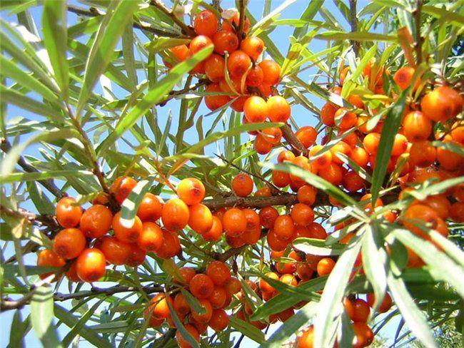 Ветви облепихи: полезные свойства веток облепихи