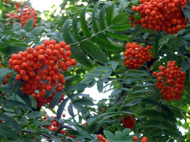 Листья рябины красной