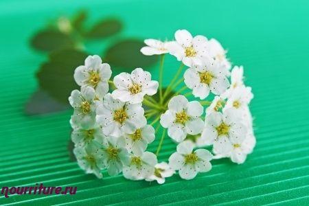 Спиртовая настойка из свежих цветков боярышника