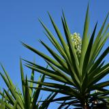 Сонник пальма юкка
