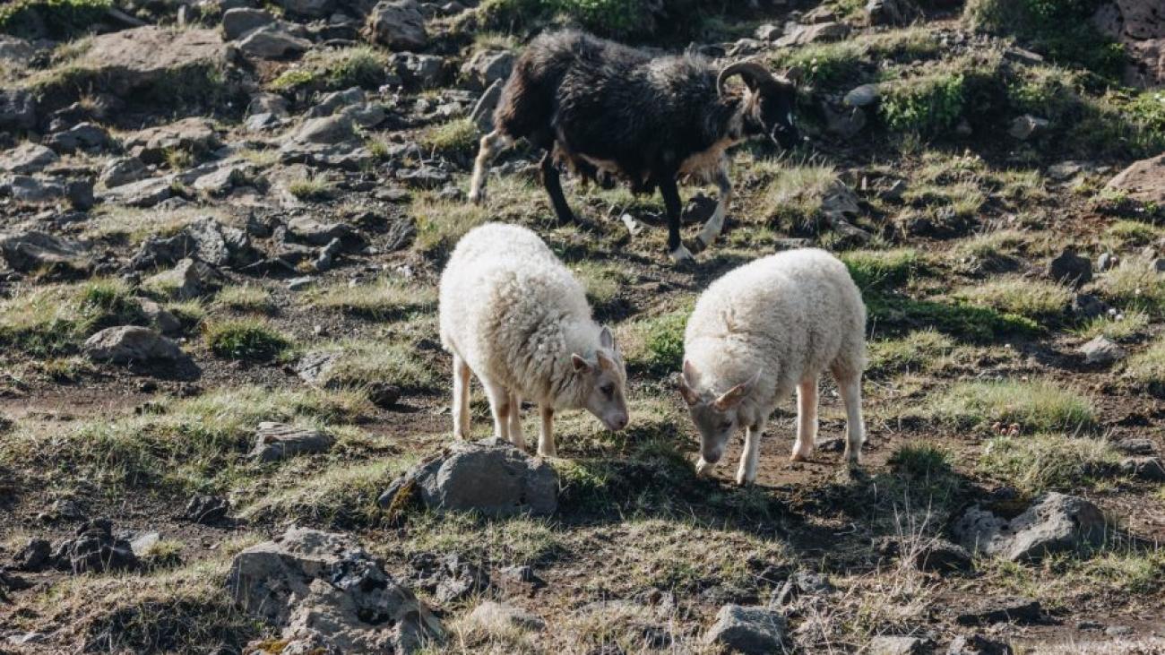 Китайский гороскоп: 2022 год для Овцы (Козы)