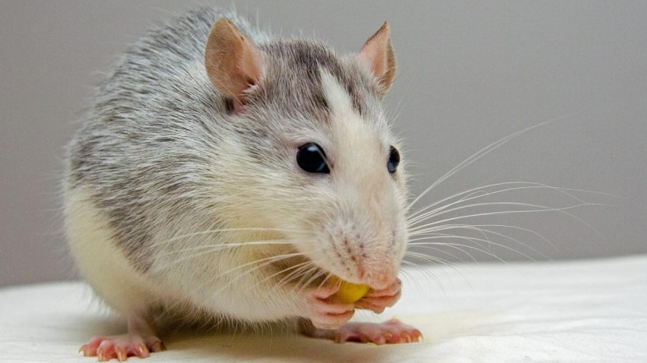 Китайский гороскоп на 2022 год для Крысы
