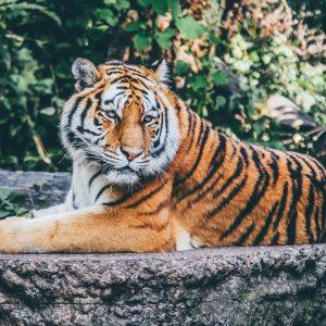 Китайский гороскоп на 2022 год для Тигра